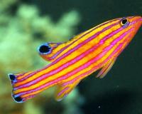 Полосатая аквариумная рыбка