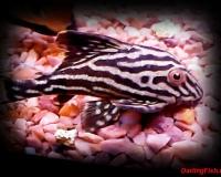 Аквариумная рыбка