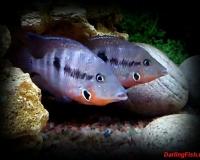 Аквариумные рыбки мееки