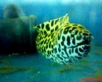 Мурена леопардовая