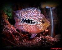 Рыбки для домашнего аквариума
