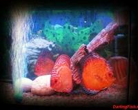 Рыбки в домашний аквариум
