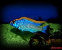 Аквариумная рыбка аулонокара